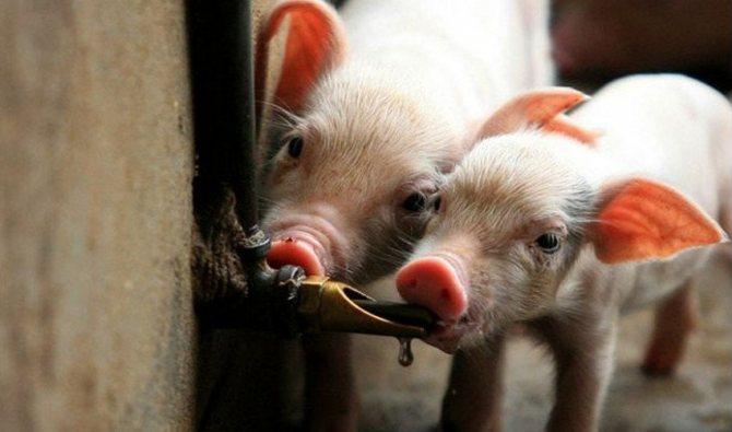Jak zrobić poidło dla świń - opcje smoczka, fajki i podciśnienia