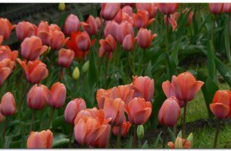 Tulipany to bardzo popularny kwiat na całym świecie.
