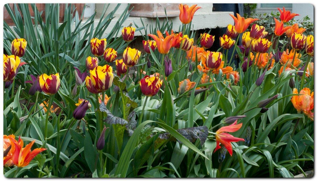 Temperatura podłoża w łóżkach, w których sadzone są tulipany na głębokości 20 cm, wynosiła około + 10 ° С
