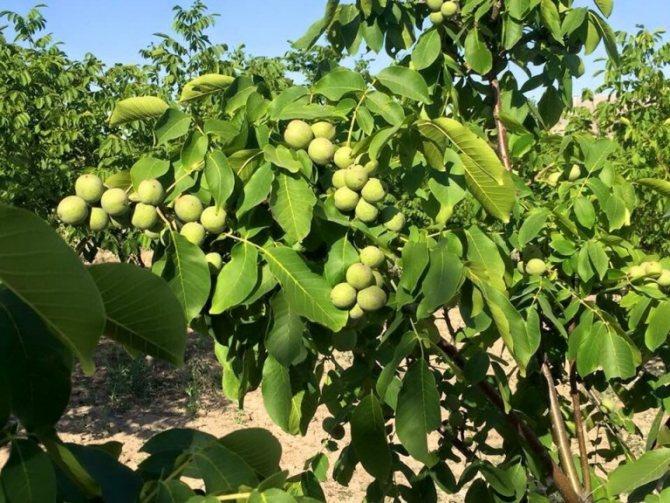 Kiedy orzechy włoskie zaczynają owocować, po ilu latach