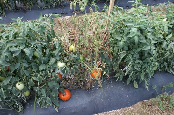 Ziemia po pomidorach: jak przywrócić na nowy sezon