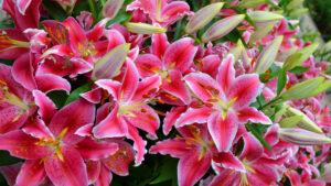 Uprawa lilii, Rodzaje i ich cechy, Jak sadzić, podlewać