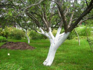 Bielenie drzew. Dlaczego i jakimi środkami wybiela się drzewa