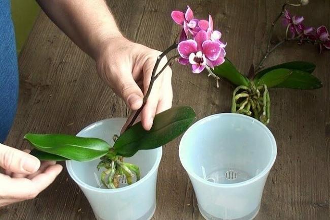 Przesadzanie kwitnącej orchidei