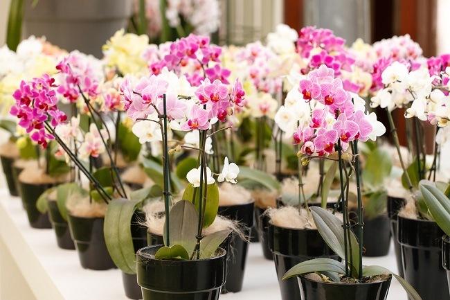 Phalaenopsis na półkach sklepowych