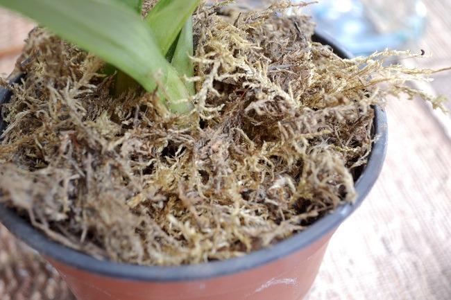 Phalaenopsis w doniczce z mchem