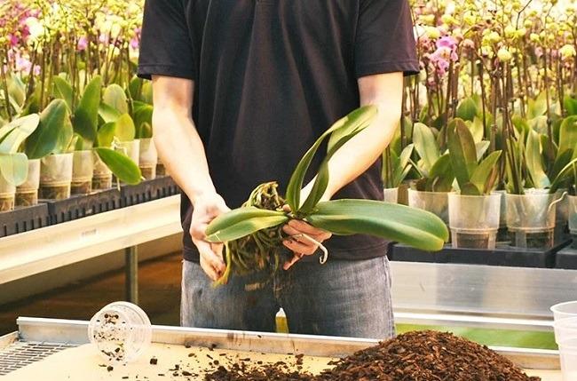 Przeszczep Phalaenopsis