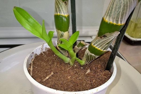 Przeszczep Dendrobium