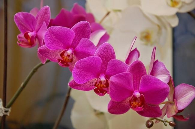 Żywe phalaenopsis